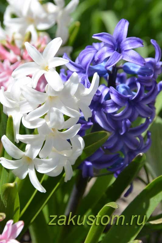 Синие и белые цветы гиацинтов