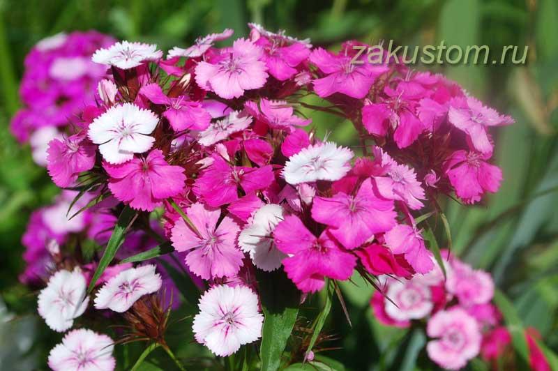 Гвоздика - очень неприхотливые цветы для вашего сада
