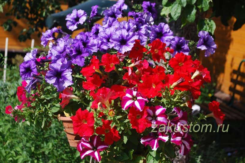 Петунии цветут - контейрное садоводство
