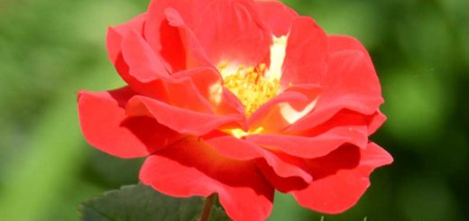 Красная роза - цветы для украшения дачи