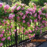 Плетисные розы - посадка и уход