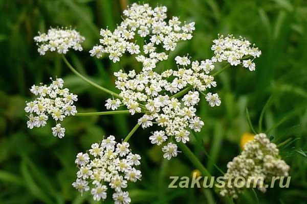 Выращивание тмина на огороде и в домашних условиях