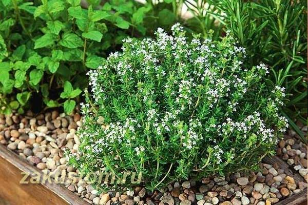 Пряные травы - выращивание и уход