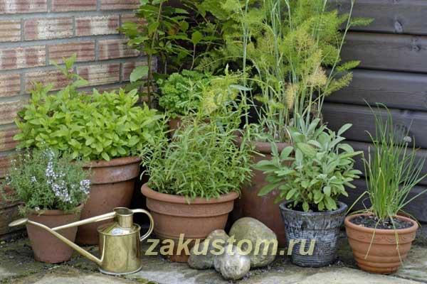Огород пряных растений