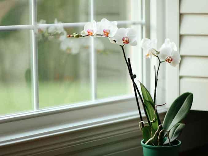 Орхидея Белая цапля (Хабенария радиата)- подробное описание и фото растения